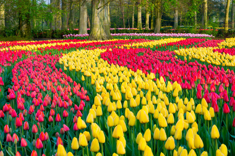 Multi-coloured tulips in the early morning light at Keukenhof Gardens, the Netherlands.