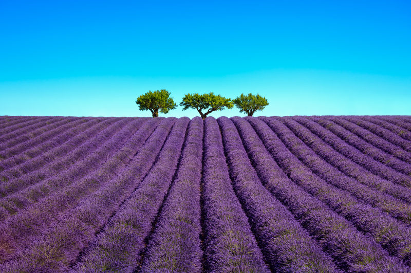 Lavender flowers bloom in a field in Provence, France.