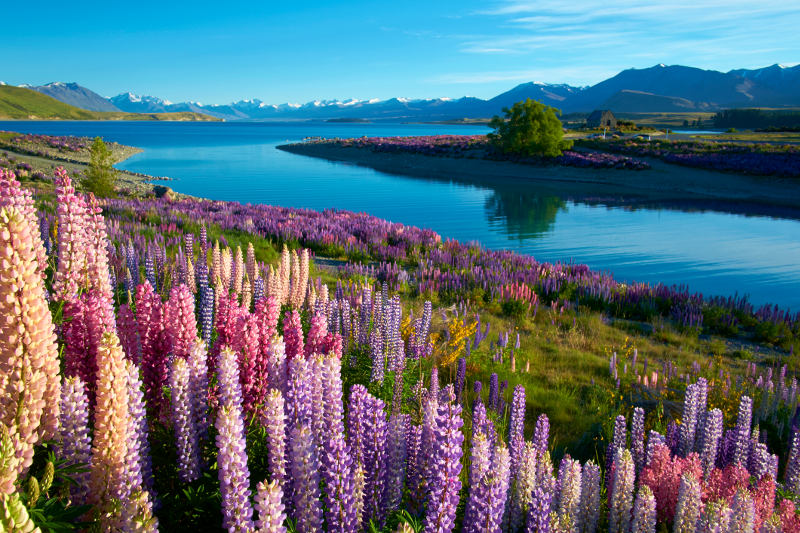 Early morning sun falls on lupins near Lake Tekapo on New Zealand's South Island.