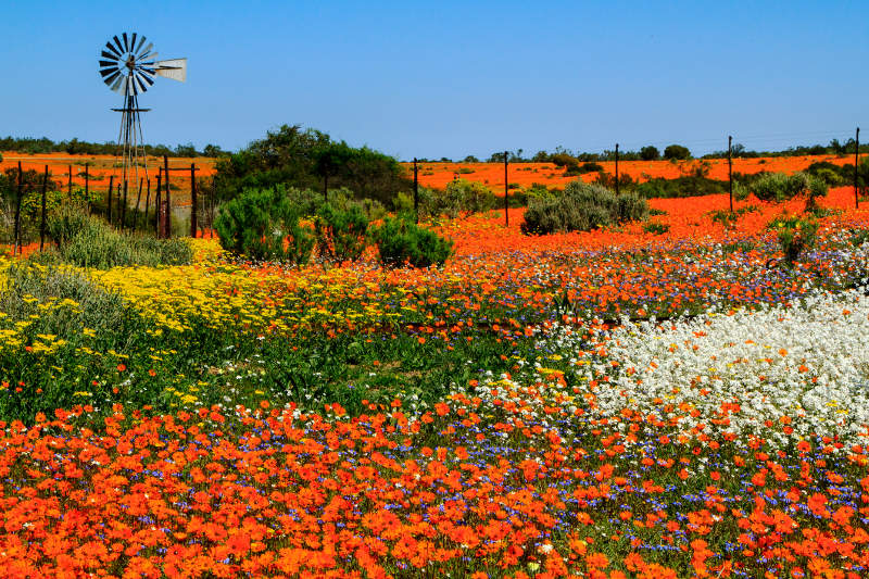 A landscape of spring flowers and a windmill in Namaqualand, South Africa.