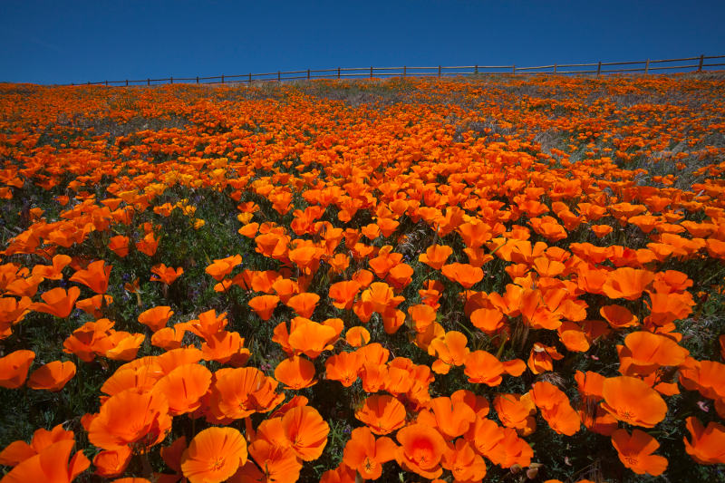 A field of orange California poppies with blue sky in Antelope Valley California Poppy Reserve, USA.