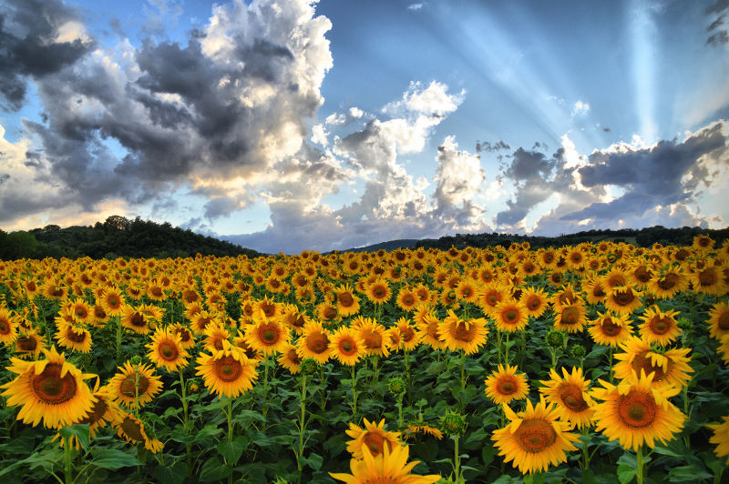 A field of sunflowers in Tuscany, Italy.