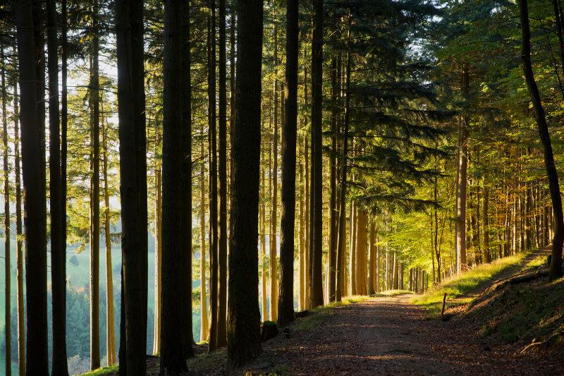 Sunlight splits tall trees in Germany's Black Forest.