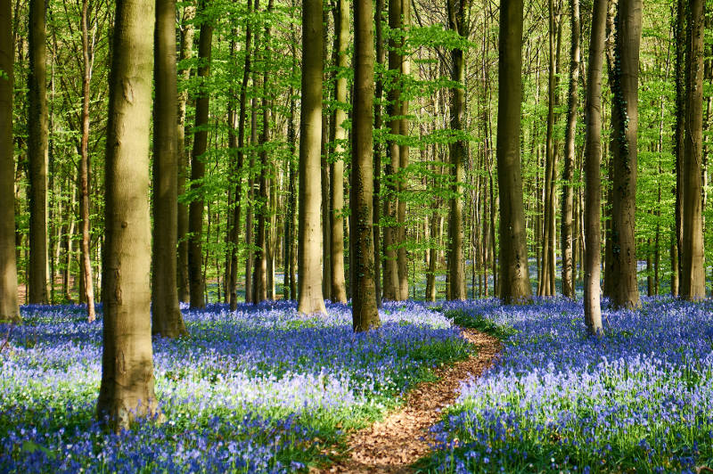 Bluebells form a carpet beneath tall trees in Hallerbos, Belgium.