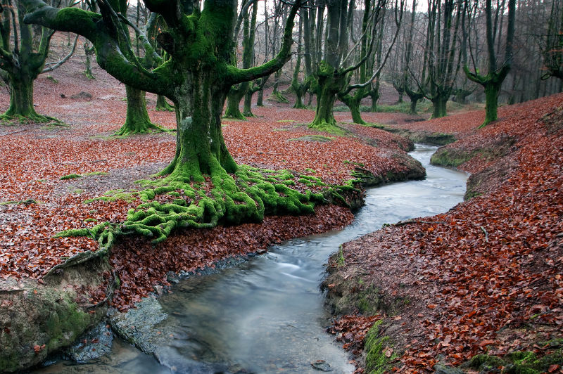 Unusual trees, cloaked in green moss stand on a carpet of autumn leaves in Otzarreta Forest in the Basque Country of Spain.