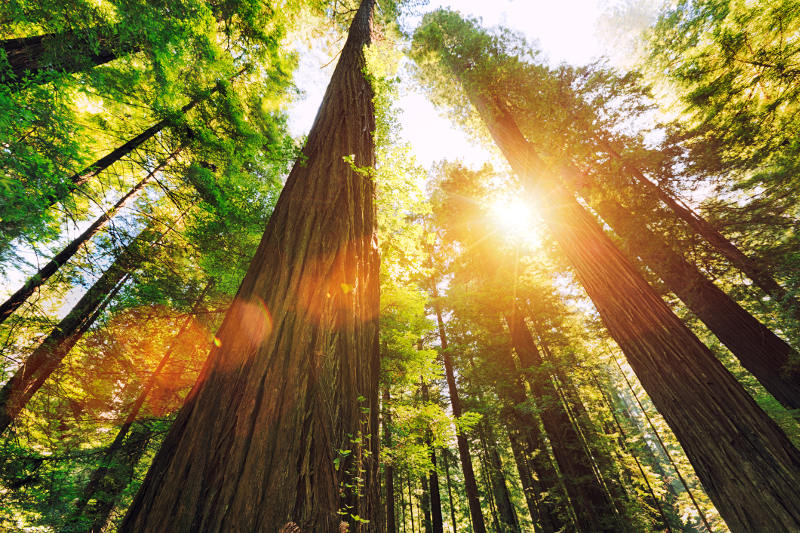 Looking up at towering redwoods in California's Redwood National Park.