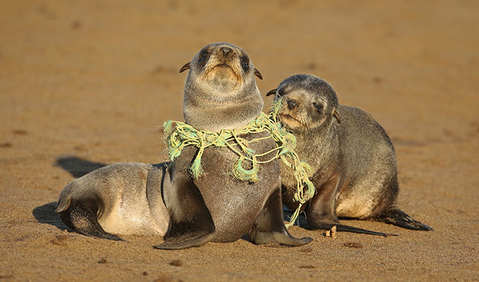 seal with fishing net around neck