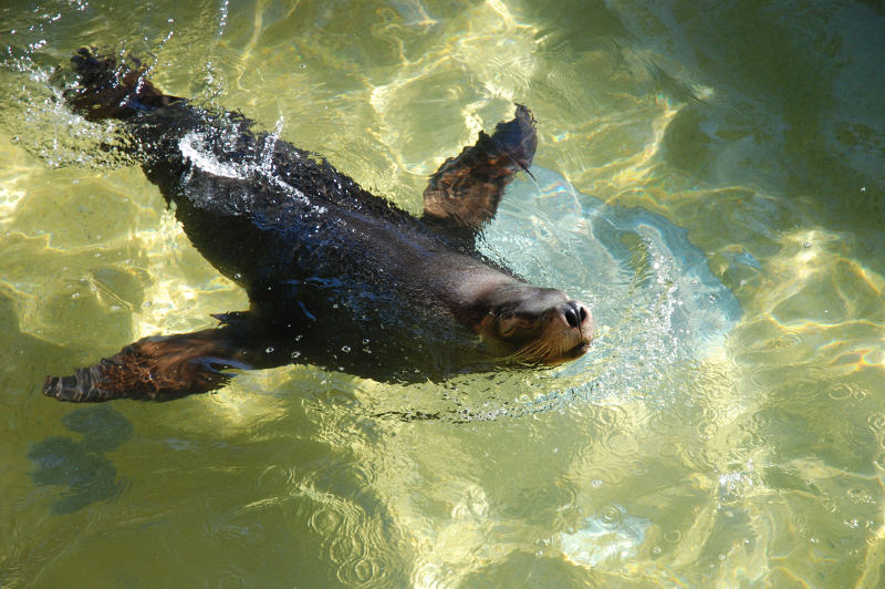 australian sea lion in water at adelaide zoo