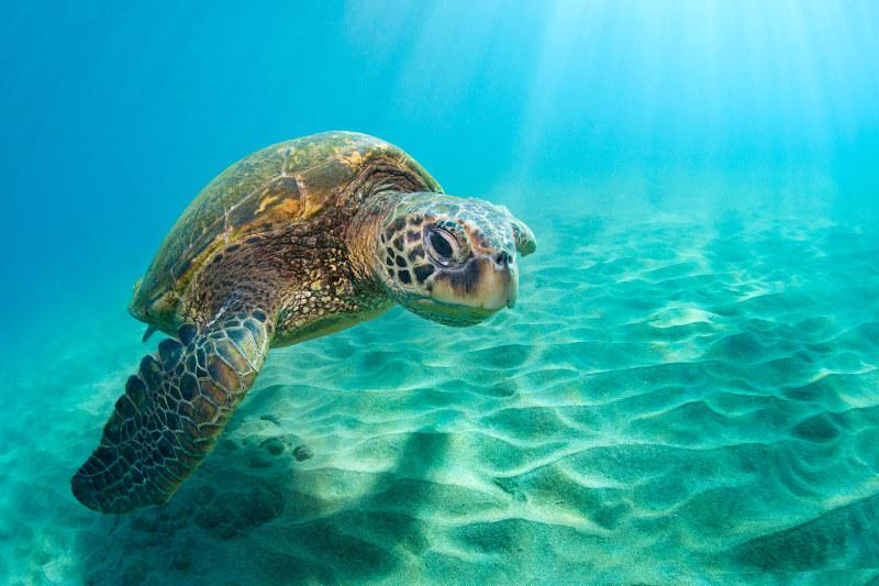 Green turtle in sea