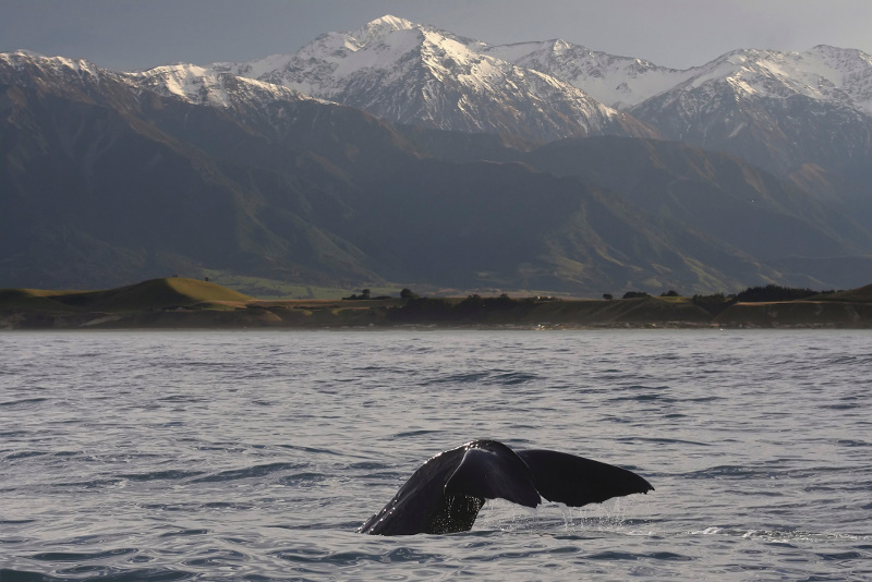 Sperm whale breaching, New Zealand