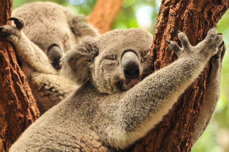 Two koalas asleep in a tree