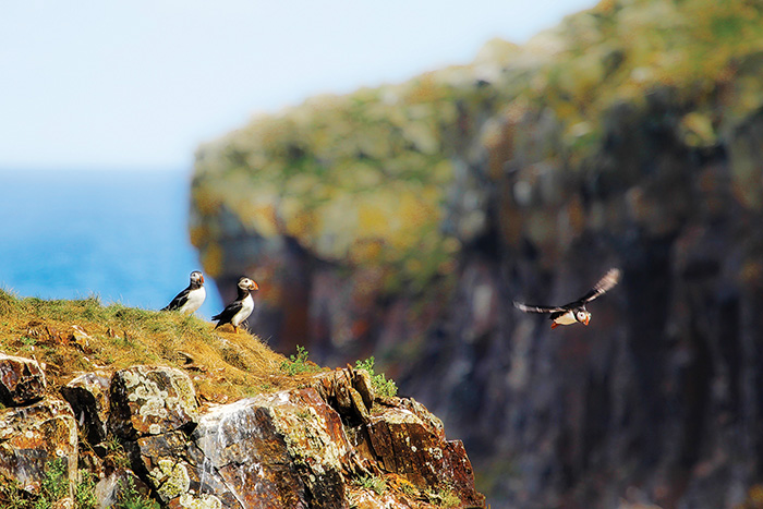 atlantic puffins newfoundland canada