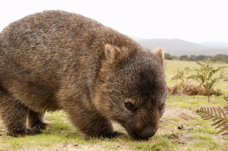 A healthy young wombat exploring Narawntapu National Park, Tasmania
