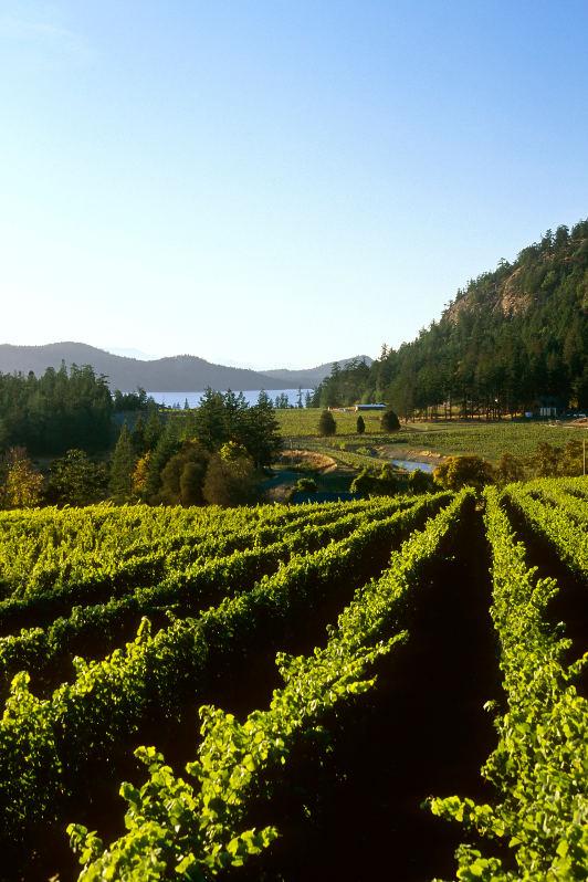 vineyard by ocean