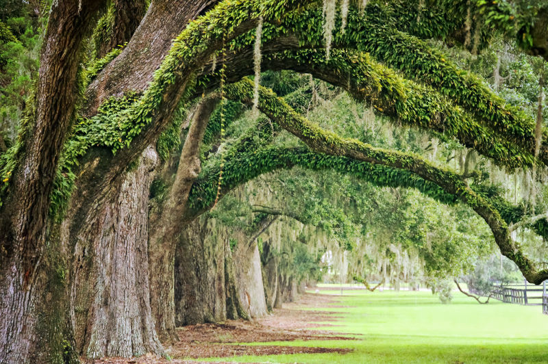 Ancient oak trees of Boone Hall Plantation