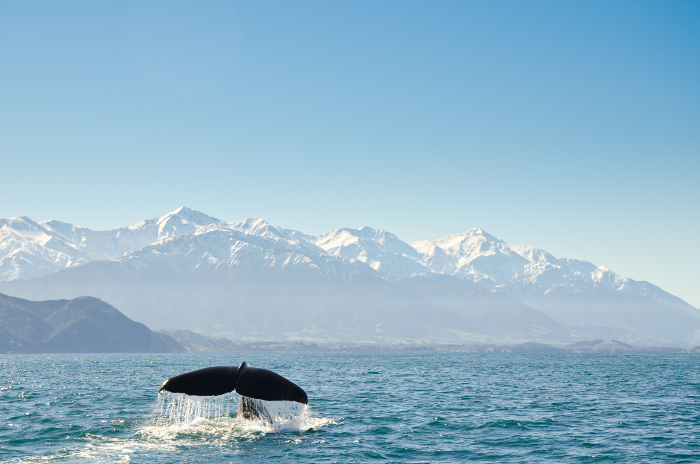 Kaikoura is renown for its marine life, particularly sperm whale population