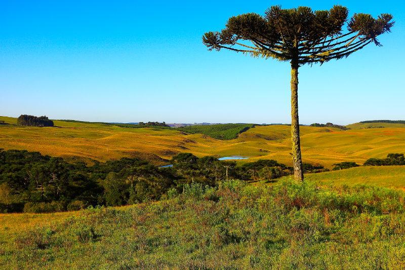 The araucaria tree on farmland in South America