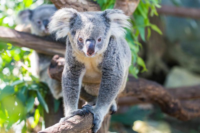 koala walking on branch toward camera
