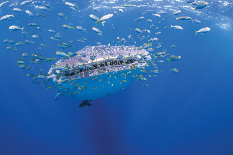 Whale shark swimming with smaller fish