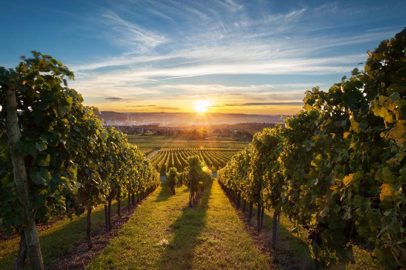 sunrise over vineyard