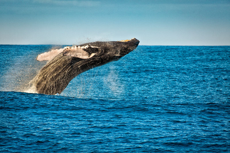 Humpback whale breaching off the island of Kauai