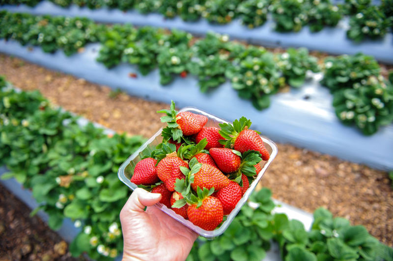 holding punnet of strawberries in strawberry field