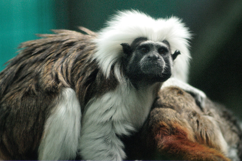 Cotton top tamarin, monkey, Perth Zoo Australia