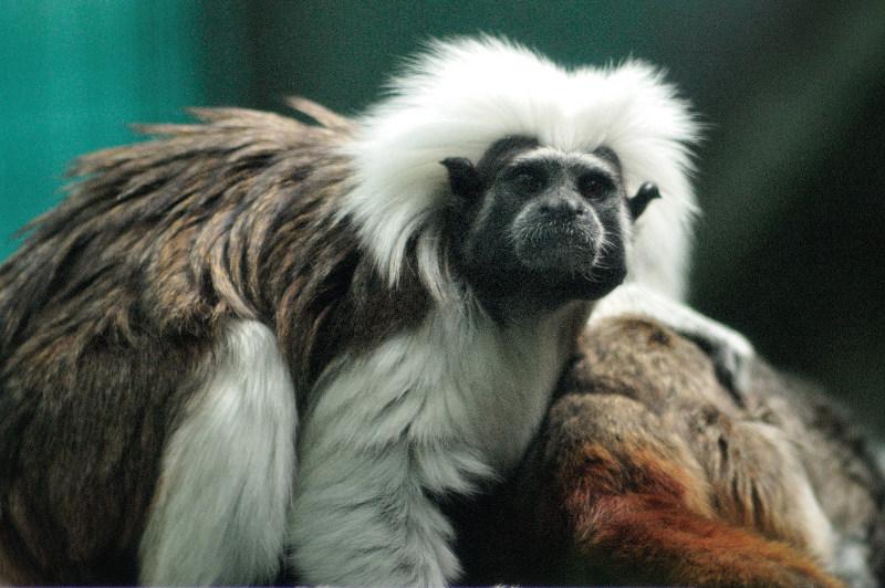 Cotton top tamarin, monkey, Perth Zoo Australia