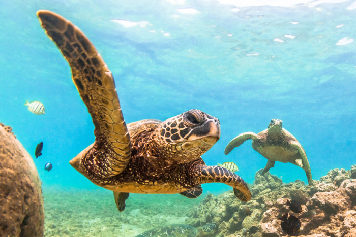 hawaiian green sea turtle oahu