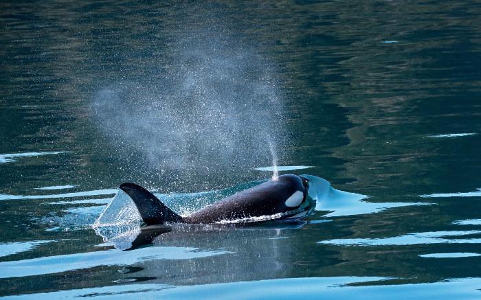 orca killer whale inside passage canada
