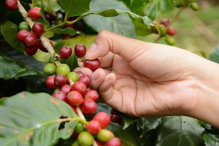 coffee beans on bush hawaii