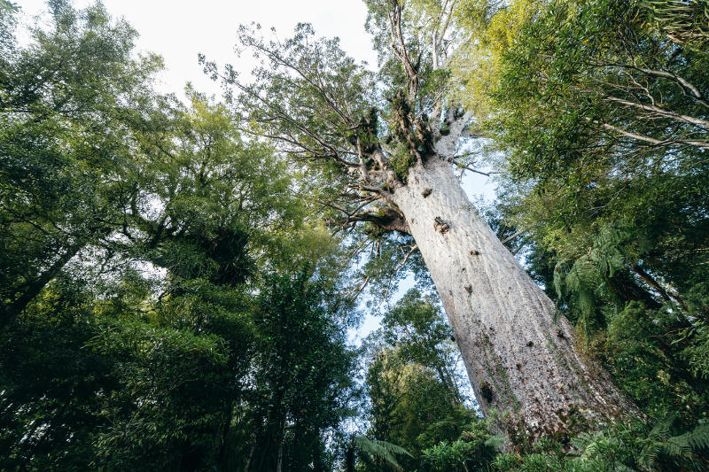 Kauri tree in forest, New Zealand
