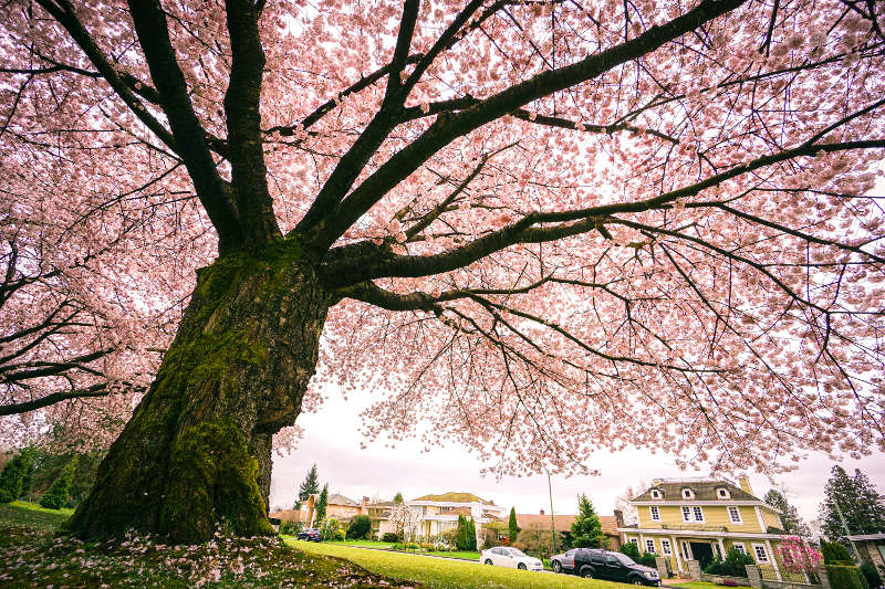 Cherry blossom tree, Queen Elizabeth Park, Vancouver