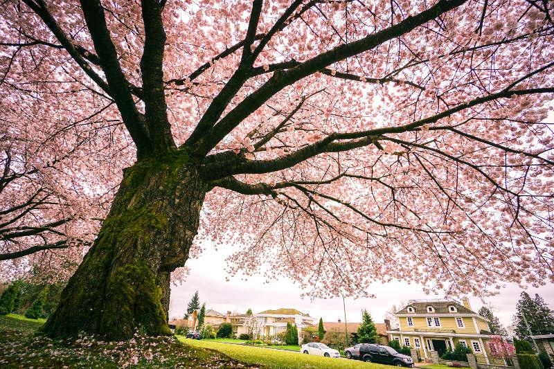 Cherry blossom tree, Queen Elizabeth Park, Vancouver
