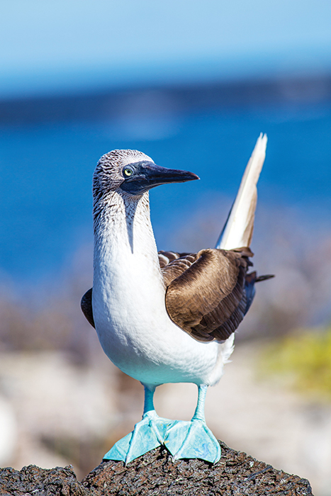 A blue-footed booby is one of the most distinctive marine birds native to the Galapagos.