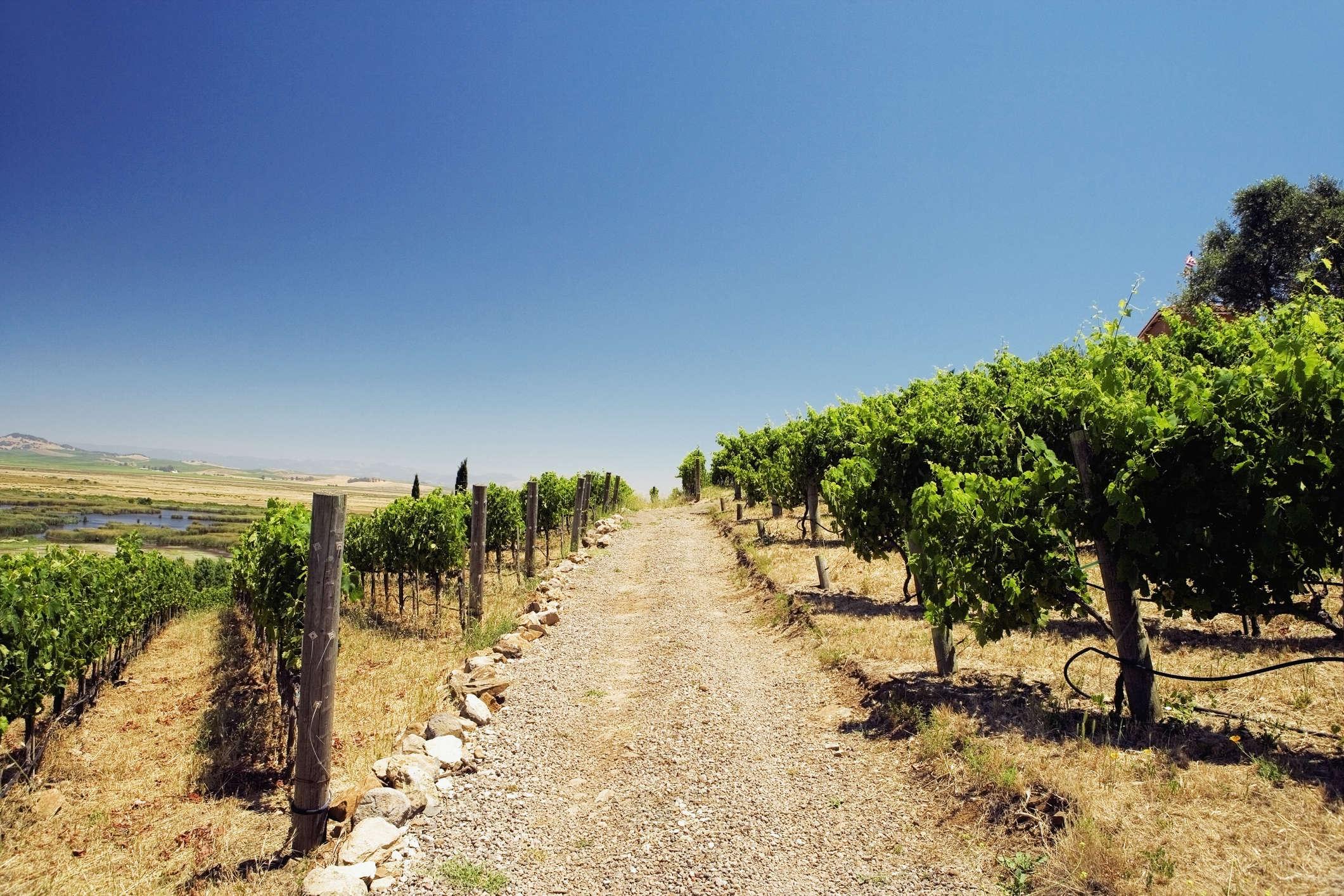 Panoramic view of a vineyard, Napa Valley, California, USA