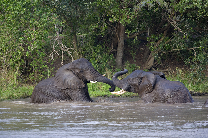 Elephants playing in sanctuary south east asia
