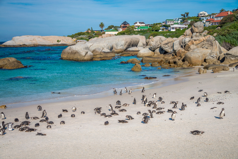 Boulder's Beach African Penguins South Africa