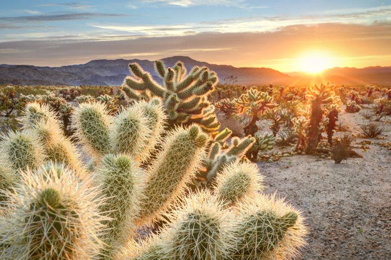 Cholla Cactus in desert USA