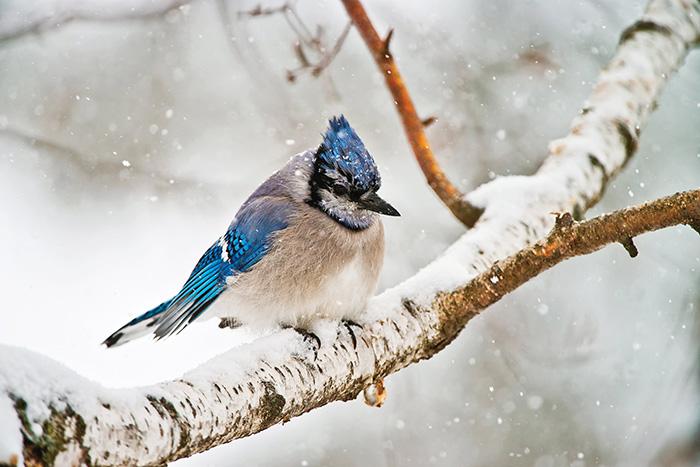 blue jay bird canada