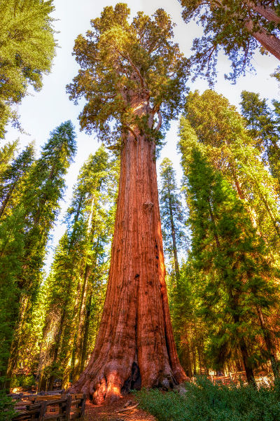 largest tree in the world general sherman tree california