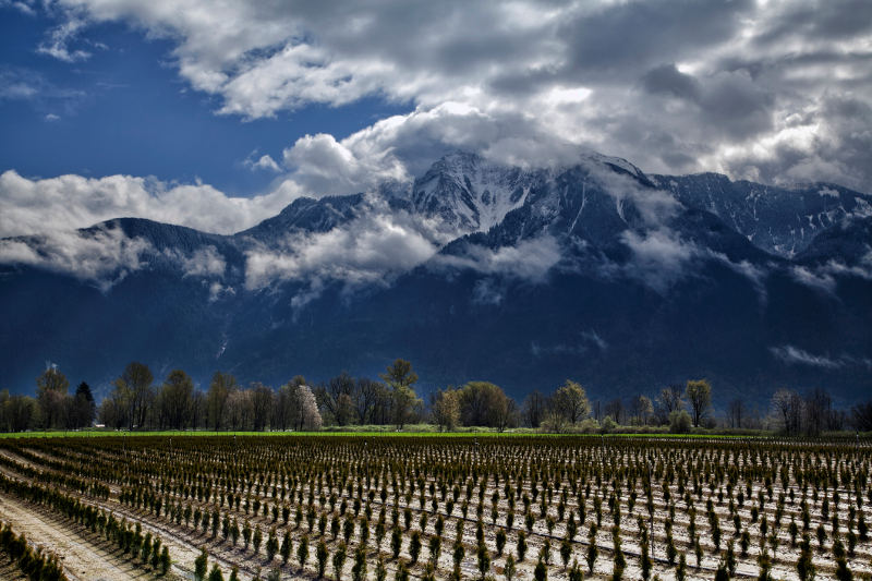 vineyard with snow capped mountains behind