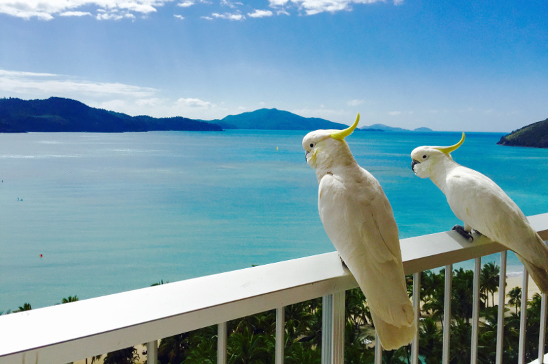 Cockatoos on a balcony on Hamilton Island