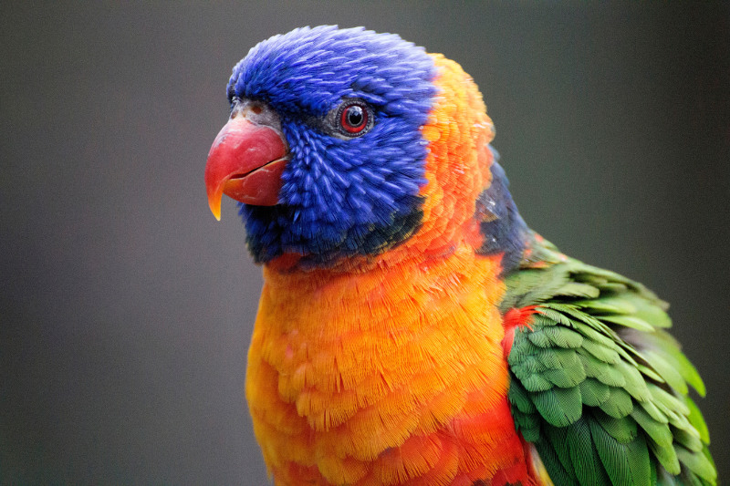 Close up view of a rainbow lorikeet