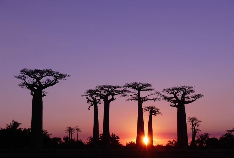 The famous Avenue of Baobabs is a sight to behold in Madagascar.