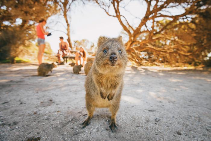 Quokkas, found on Rottnest Island, WA, are Australia's smallest marsupial.