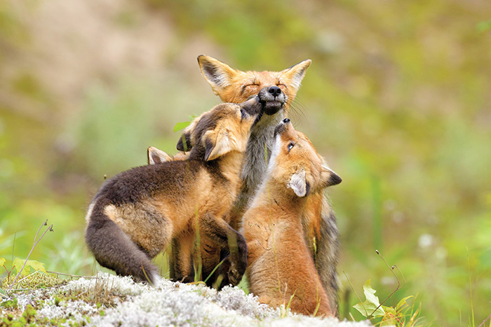 red foxes canada