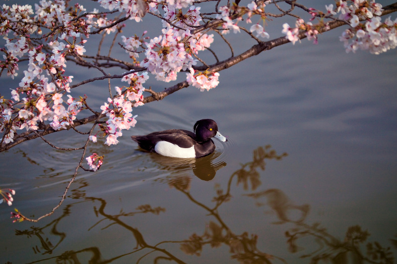 Duck on water in Ueno Park