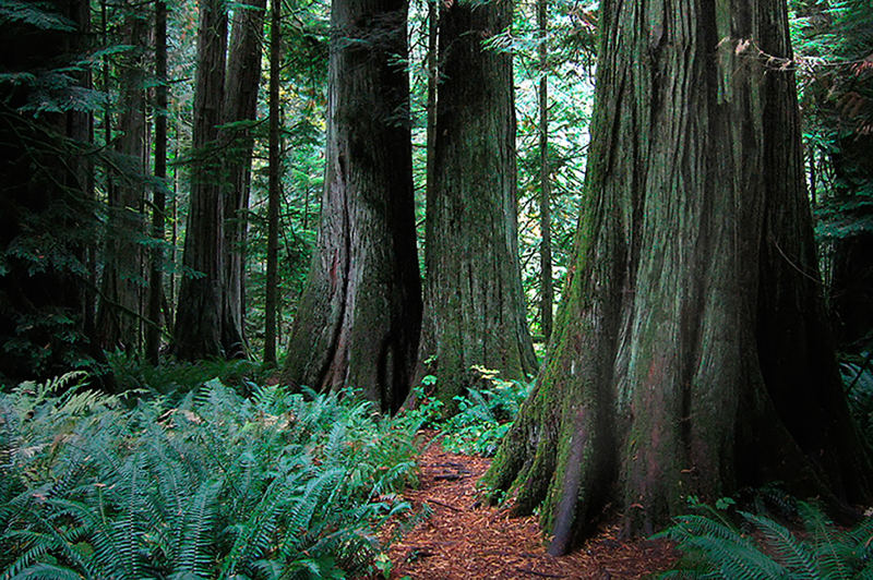 Douglas Fir trees in Cathedral Grove, Vancouver Island Canada