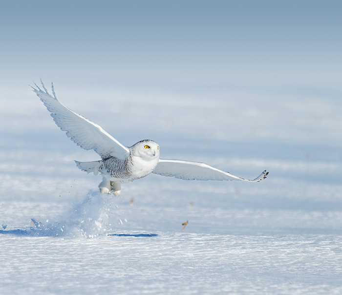 snowy owl canada